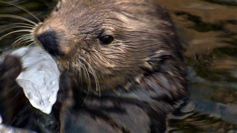 sea otter  ice rocks  perfect  cracking frozen