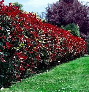 Photinia Red Robin : 25 best ideas about photinia red robin on pinterest red ~ Michelbontemps.com Haus und Dekorationen