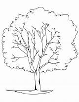 Tree Coloring Pages Oak Elm Trees Pine Printable Drawing Bare Redwood Rainforest Template Plants Planting Getcolorings Getdrawings Pa Drawings Designlooter sketch template