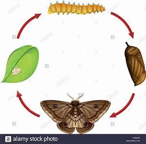 Moth Life Cycle Stock Photos  U0026 Moth Life Cycle Stock