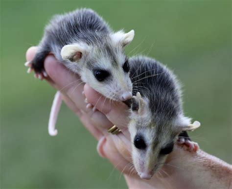 Opossum in the window!