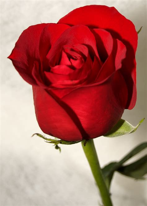 Red Roses Most Popular Rose Rose Wallpapers Beautiful