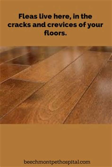 Fleas Hardwood Floors No Pets 1000 images about fleas 101 on fleas flea