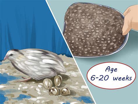 4 ways to feed quail wikihow