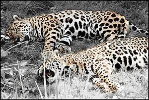 Jaguar Rouen : ipernity jaguar desaturation partielle by arnocrash ~ Gottalentnigeria.com Avis de Voitures