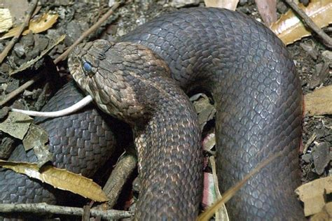 Most Poisonous Snake