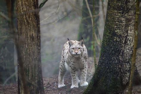 woods wild cat animals cats dangerous creatures cute