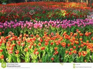 Tulpen Im Garten : mehrfarbige tulpen im garten tulpenfeld stockbild bild ~ A.2002-acura-tl-radio.info Haus und Dekorationen