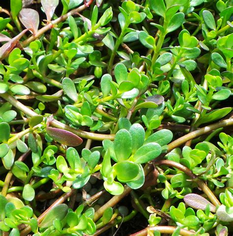 in plant brahmi plant bacopa monnieri woodvale fish lily farm