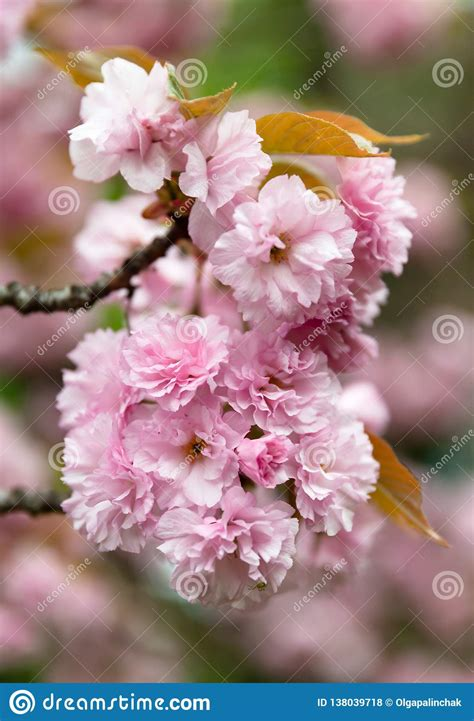 Sakura Cherry Blossom Branch Stock Photo Image of pink