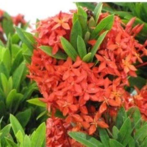 jual bibit unggul tanaman soka merah jepang red ixora