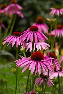 Sonnenhut Pflanze Kaufen : saatgut staudensamen bei kaufen bestellen ~ Buech-reservation.com Haus und Dekorationen
