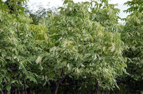 Gada koks - ošlapu kļava