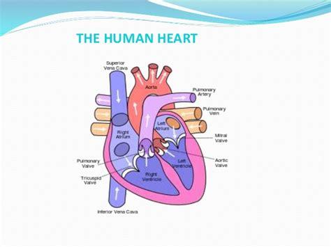 human heart anatomy  physiology part