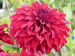 Quand Planter Des Dahlias : quand planter les choux selon la vari t que vous choisissez ~ Nature-et-papiers.com Idées de Décoration
