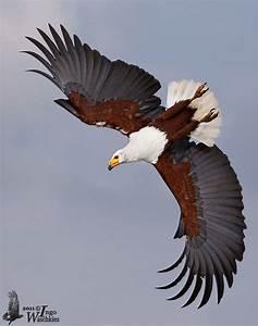 African Fish Eagle (Haliaeetus vocifer) | South Africa ...