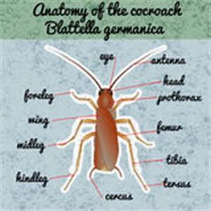 Insektenanatomie Aufkleber Forficula Auricularia Ohrwurm