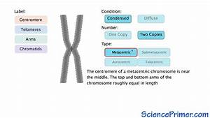 Wiring Diagram  34 Structure Of Chromosome With Diagram