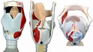 Pics For > Larynx Model Labeled