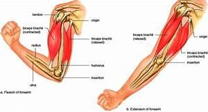 Anatomi  Myologi  Otot