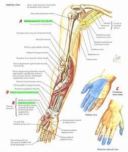 Nerves Arm  Shoulder Median Nerve Course  Relations And