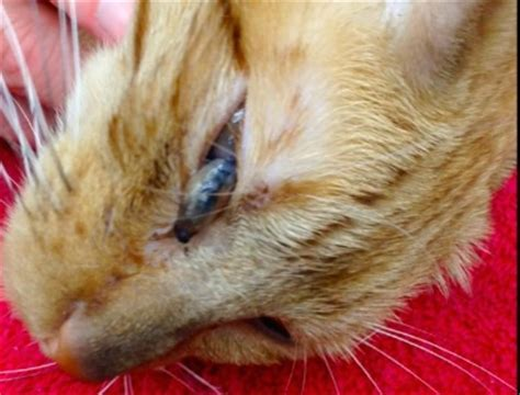 corneal perforation due cuterebra vetgirl ce blog