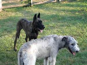 Great Dane vs. Irish Wolfhound - YouTube