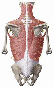 Dorsal Trunk  Anatomy