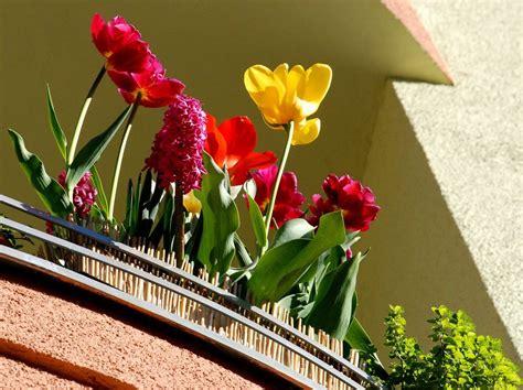 Tulpen Pflanzen Balkon by Zwiebelblumen Auf Balkon Und Terrasse Tipps F 252 R Die