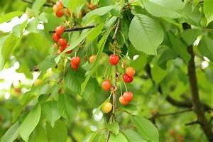 Planter Un Cerisier : comment planter des arbres fruitiers dans un verger ~ Melissatoandfro.com Idées de Décoration