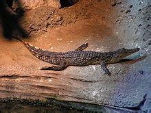 crocodylus niloticus wikipedia