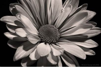 Sunflower Flower Background Wallpapers Flowers Daisy Backgrounds