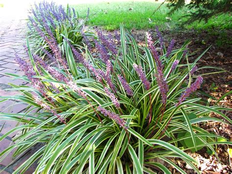 what ornamental grasses are perennials views from the garden short perennial ornamental grass