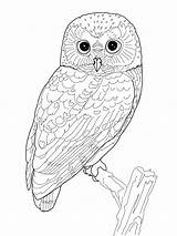 Coloring Pages Owl Adults Detailed sketch template