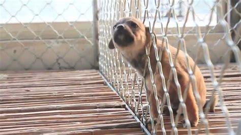 chinos matan brutalmente  los perros  gatos chinese killing dogs  cats youtube