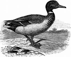 Mallard Duck | ClipArt ETC