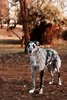 Rocky Mountain Spotted Fever (RMSF) in Dogs | Dogs, Dog ...