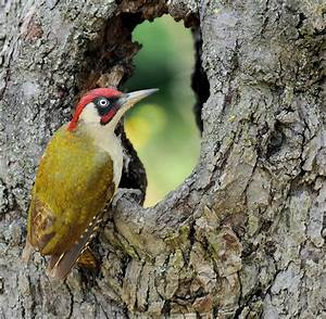 Vogel Mit Roter Brust : vogel des jahres der gr nspecht hackt mit 20 st en pro sekunde welt ~ Eleganceandgraceweddings.com Haus und Dekorationen