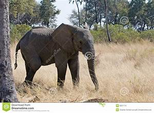 African Elephant In The Wild Stock Images - Image: 6207774