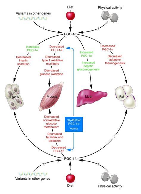 jci genes  pathophysiology  type  diabetes