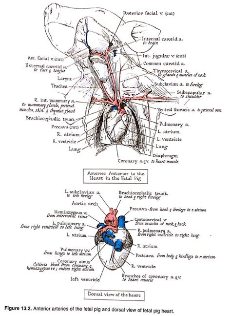 anatomical drawings   fetal pig