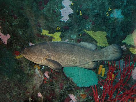 grouper giant aquarium epinephelus lanceolatus theonlinezoo