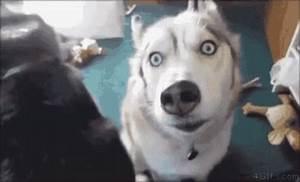 Husky Crazy GIF - Husky Crazy Dogs - Discover & Share GIFs