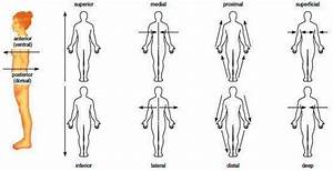 Anatomical Planes Of The Body Worksheet