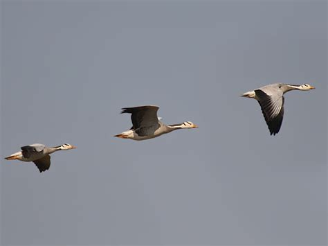 icons of migration bar headed goose migrations