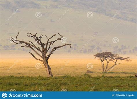 African Landscape Dry Tree In Serengeti National Park
