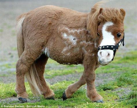 horse dwarf koda xcitefun horses very strange smallest dwarfism mini miniature funny pony india ponies meet unique