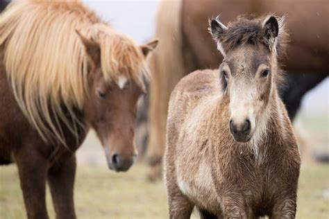 how are horses inspired by iceland the official tourism information site for iceland the icelandic horse