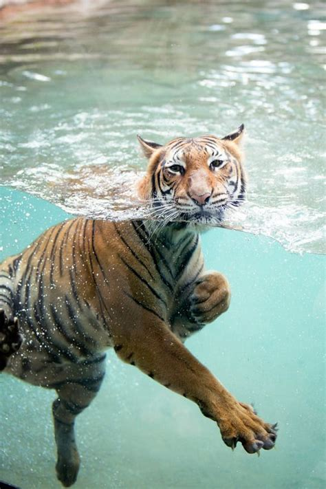 Tigers Love Water Your Favourite Wildlife Only