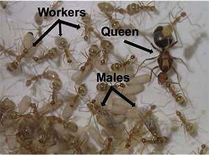 Life Cycle Of Ants